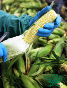 food-safety-quality-control-corn